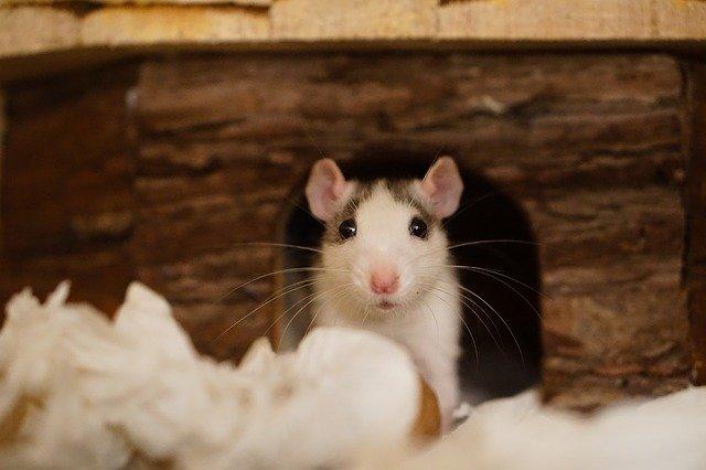 potkan v díře