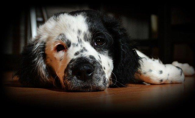 bíločerný pes