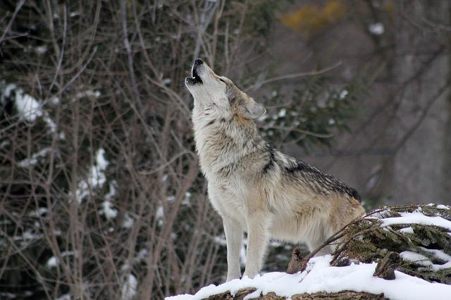 vytí vlka