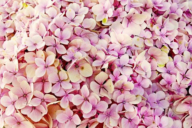 růžové hortenzie